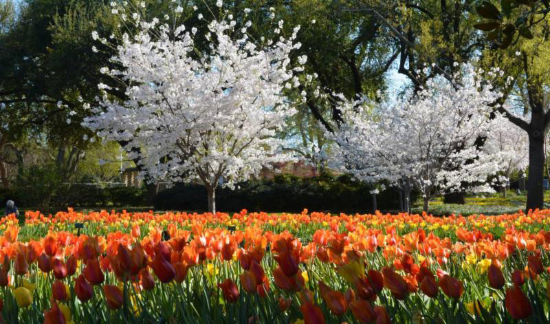 Dallas Arboretum's Hundreds of Cherry Blossom Trees  Are Beginning to Bloom